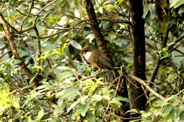 White Throated Laughing Thrush (1)
