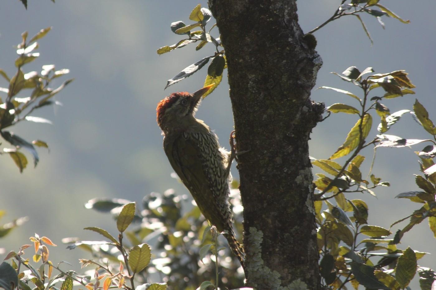 Streaked Woodpecker
