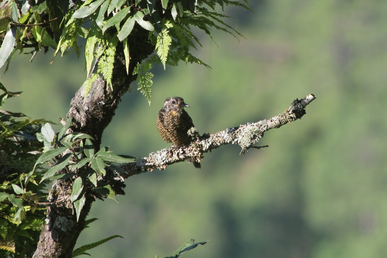 Chestnut bellied Rock Thrush Juvenile