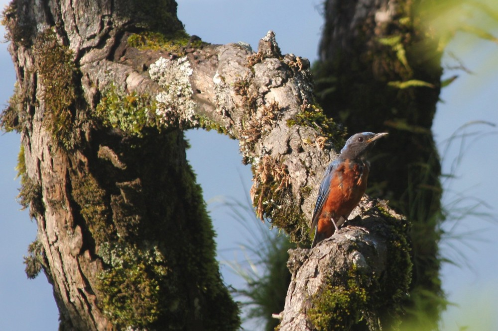 Chestnut bellied Rock Thrush - Male