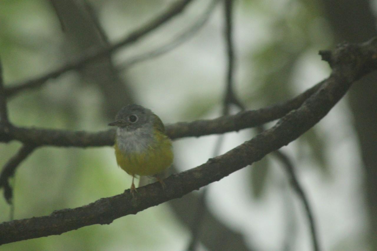 Grey Headed Canary Fly Catcher