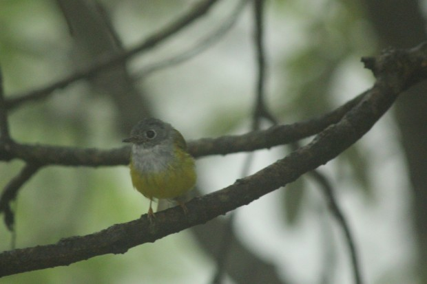 Grey Headed Canary Fly Catcher